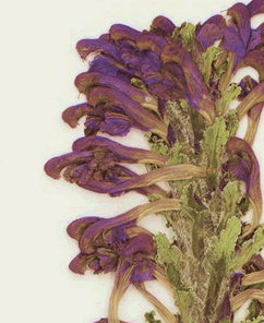 example image of plant specimen from the digital Herbarium collection